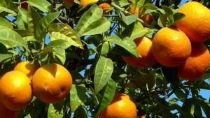 موسكو تعيد شحنة من البرتقال المصري لاحتوائها على آفات زراعية