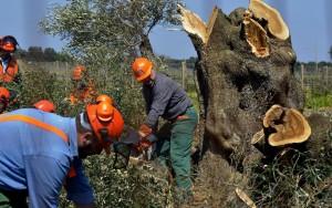 بكتيريا  كسيليلا  تهدد أشجار الزيتون في إيطاليا وتصيبها بمرض الجفاف